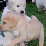 When puppies play, young boy dogs often let the girls win — anything to keep the game going