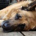 Is your dog at risk of hormone disease?