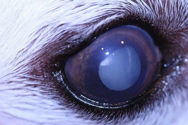 Dogs And The Onset Of Eye Disease