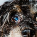 Older dogs and cataracts